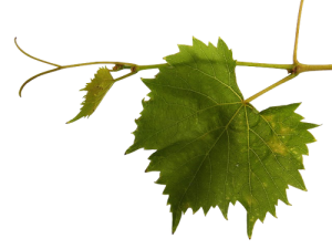 feuille de vigne domaine de la tuilerie labreuille